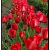 Tulip011.jpg