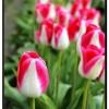 Tulip013.jpg